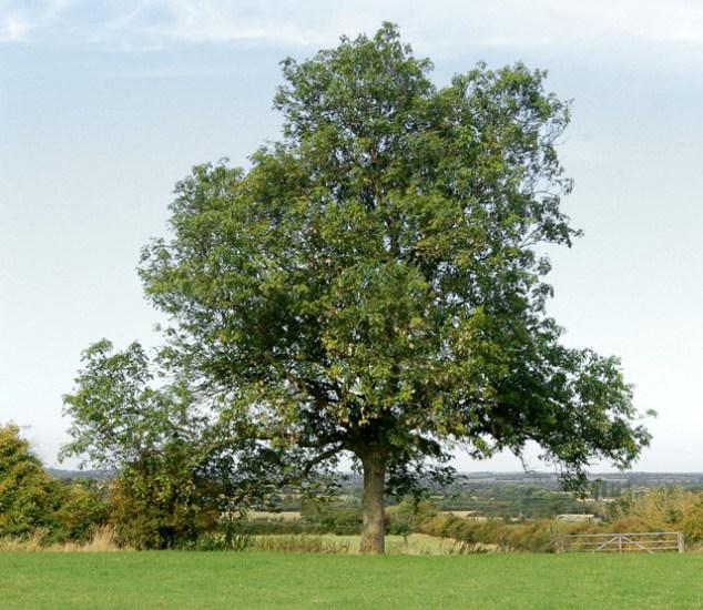 A_mature_ash_tree_near_Potash_Farm_-_geograph.org.uk_-_1498929