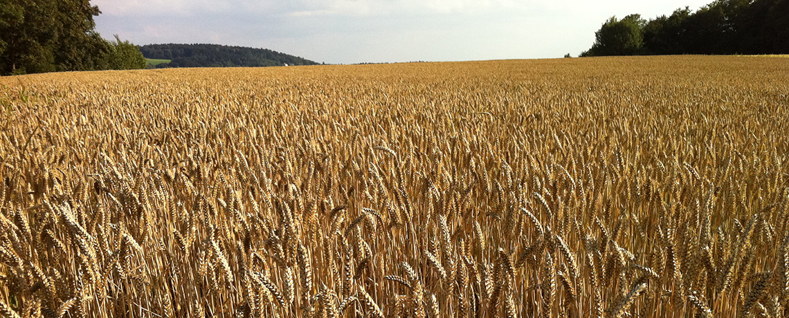 GMO Wheat Found in Washington State Could Hurt US Trade