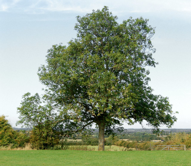 A_mature_ash_tree_near_Potash_Farm_-_geograph.org.uk_-_1498929
