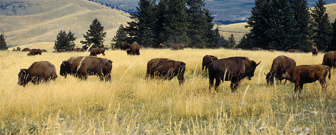 Fate of Bison Range in Interior Secretary's Hands