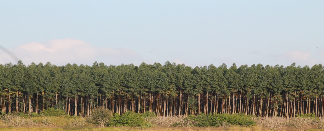 Monoculture Tree Plantations and GE Trees in the United States – An Update