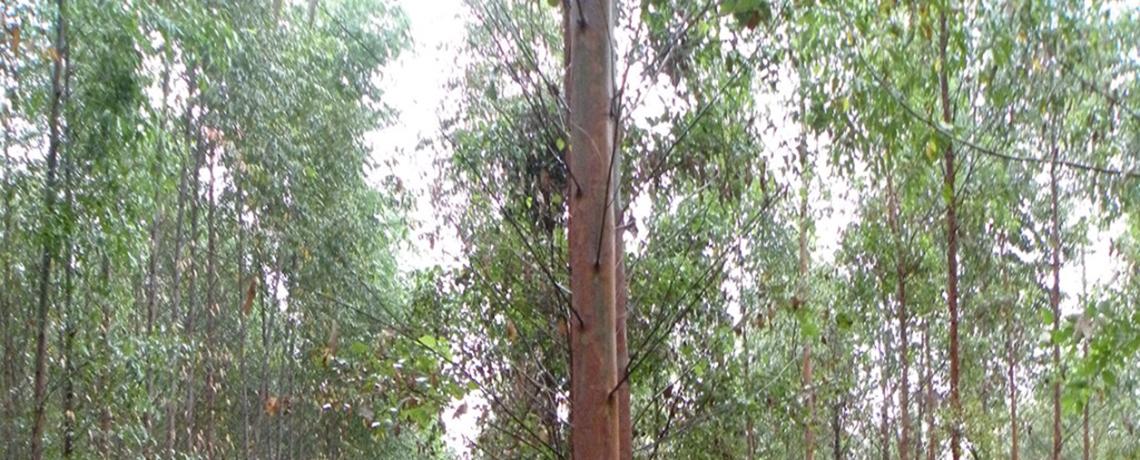 LISTEN: The Dangers of GE Eucalyptus Plantations on WORT-FM