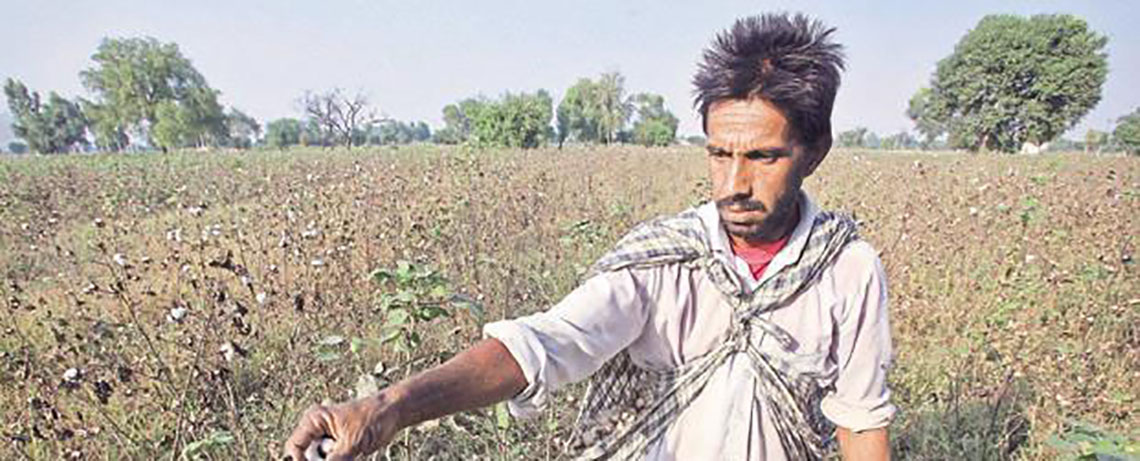 Bt Cotton Failure Forces Government to Promote Native Seeds