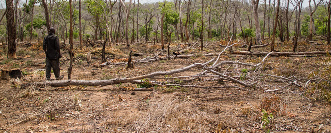 Spike in Sesame Farming Poses Threat to Tanzania's Natural Forests