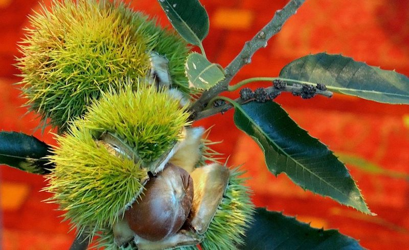 Truthout Article on Potential Release of GE American Chestnut Tree