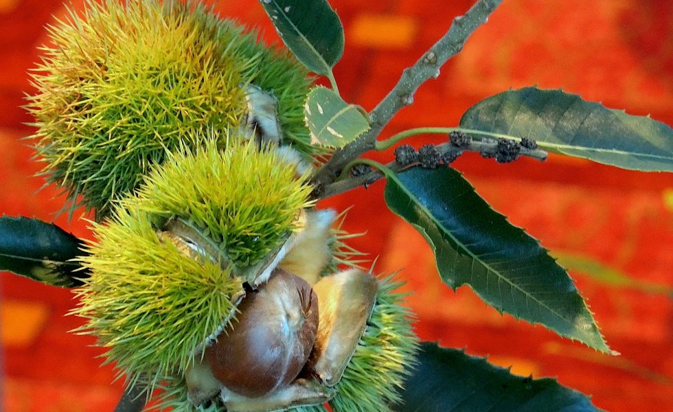 Earth Minute: Genetically Engineered American Chestnut Trees
