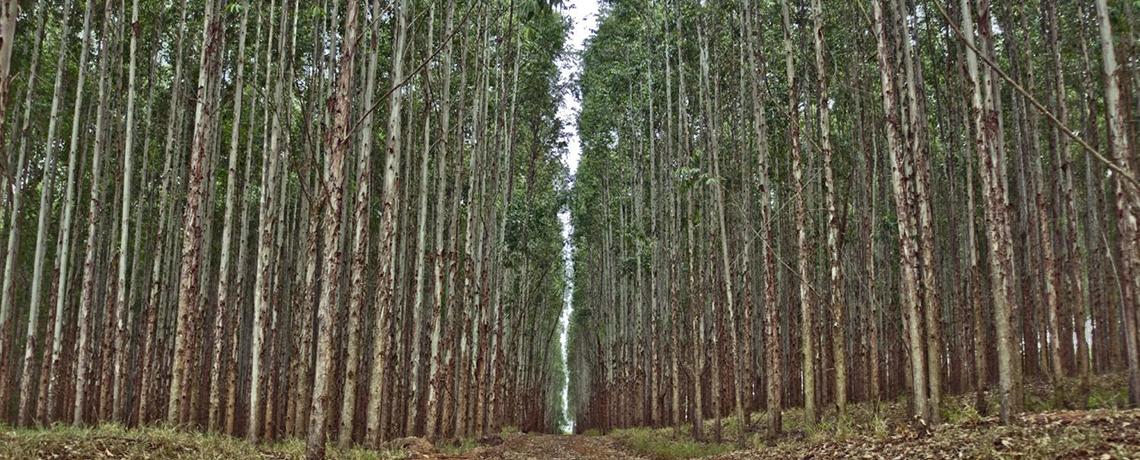 Fight Against GE Eucalyptus in US Gets Major Media Coverage